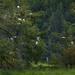 Whte Egrets Nesting