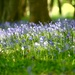 Bluebell Wood III