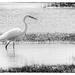egret b&w