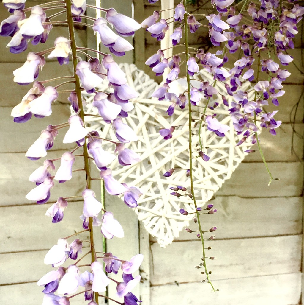 Wisteria heart  by lilaclisa