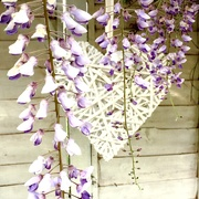 17th May 2019 - Wisteria heart