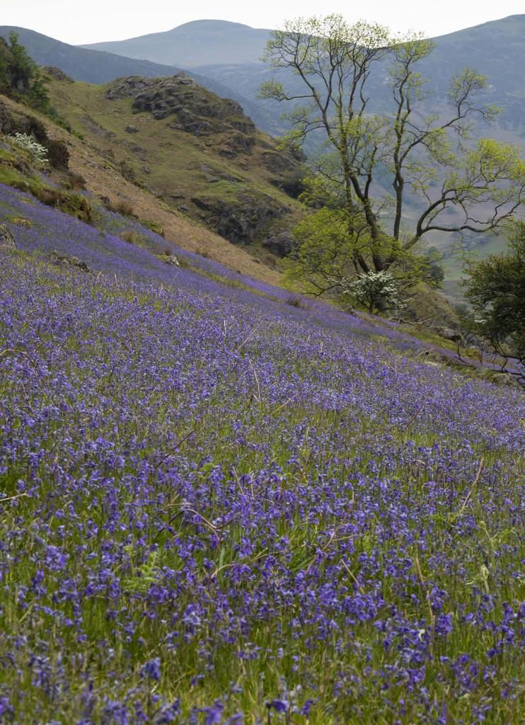 Bluebells by shepherdmanswife