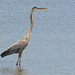 Blue Heron Watching the Fishermen!
