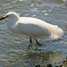 Snowy Egret Standing in the Spillway!
