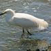 Snowy Egret Standing in the Spillway!