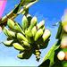 Bananas Caribbean style