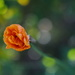 Orange Poppy by kgolab