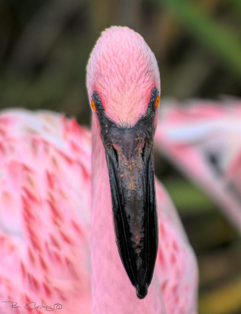 Flamingo Friday '19 13 by stray_shooter