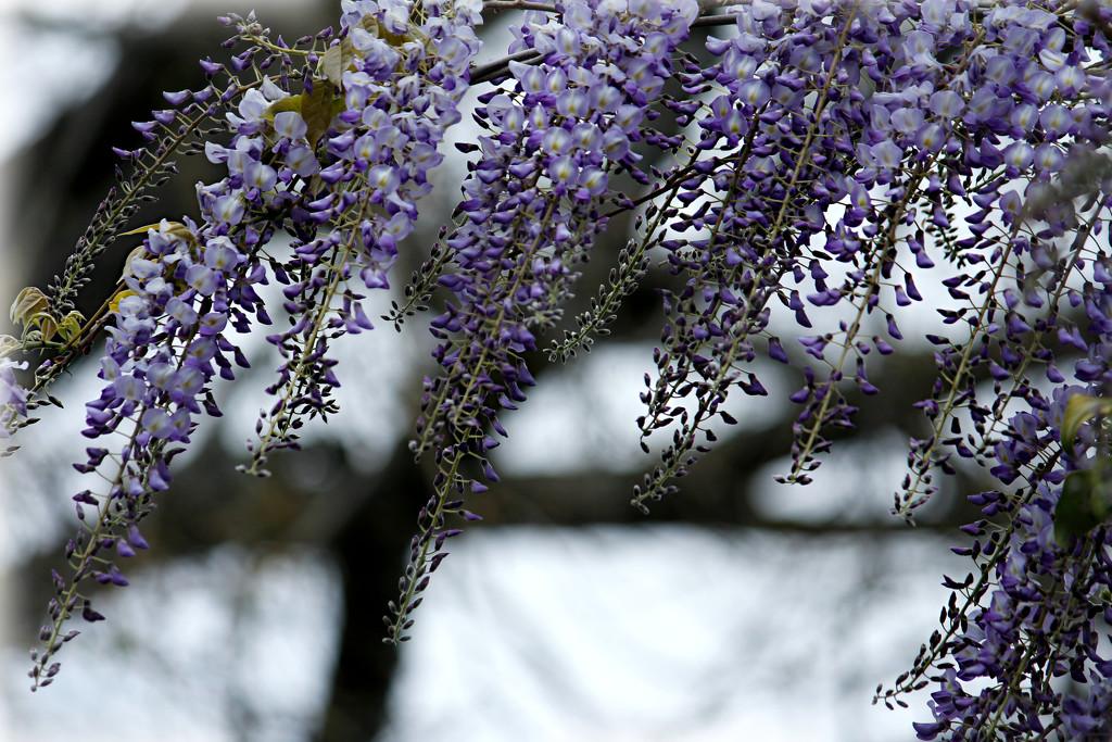 Wisteria in the Breeze by gq