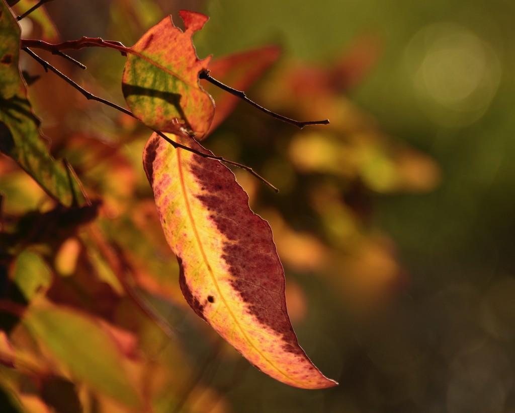 Backlit Gum Leaves_DSC1281 by merrelyn