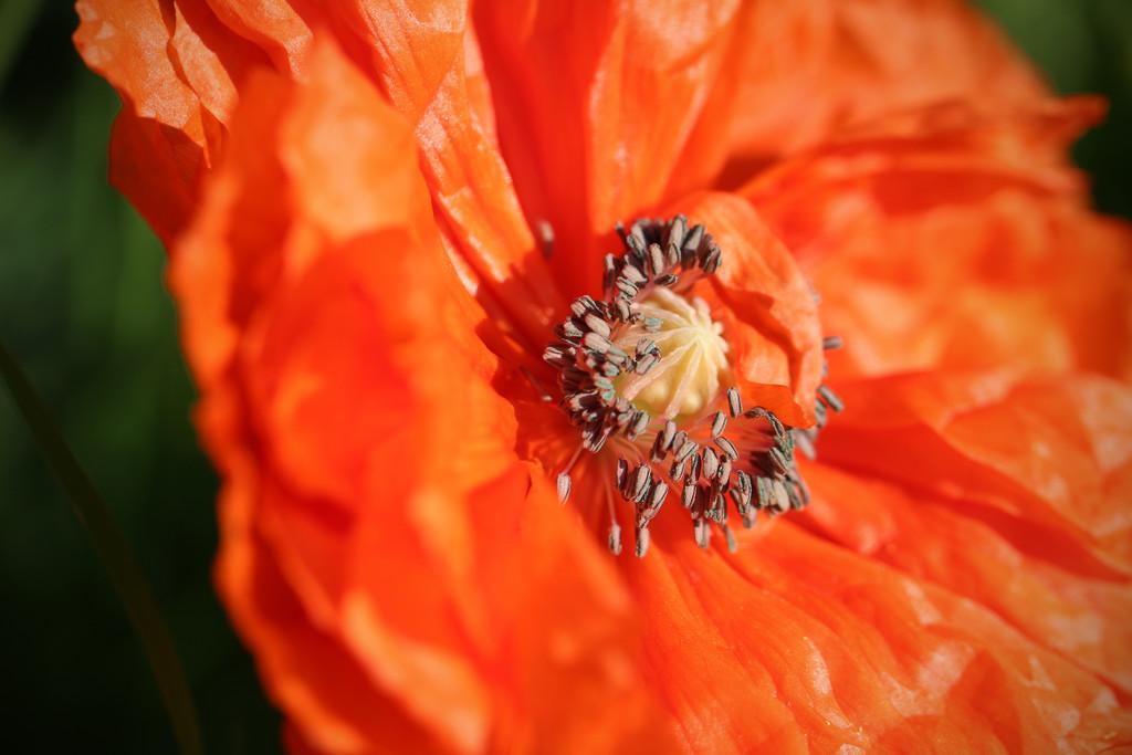 first poppy by callymazoo