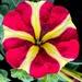 Half and half - Petunia