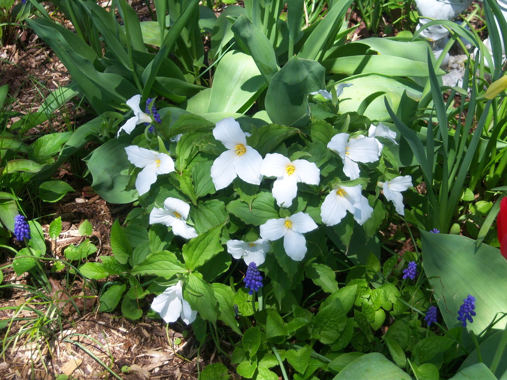 White Trillium is Ontario's National Flower by bruni