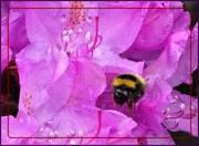 18th May 2019 - Busy Bee