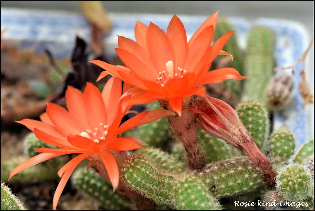Cactus flowers by rosiekind
