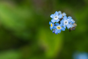 18th May 2019 - Forget-me-nots