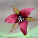 Red Trillium! by fayefaye