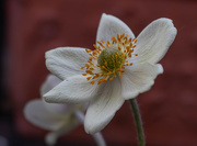 17th May 2019 - Anemone