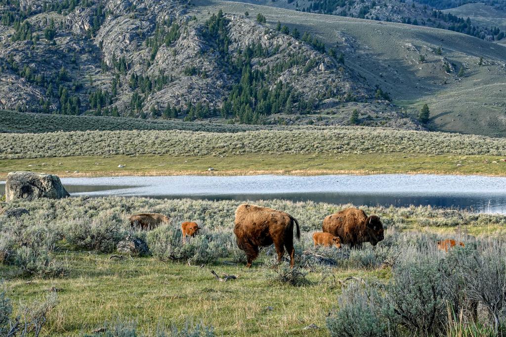 The Home Where the Buffalo Roam by milaniet
