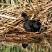 A Red Knobbed Coot