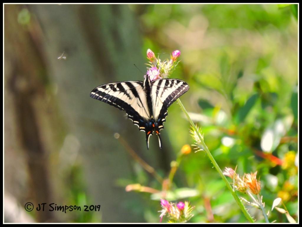 SwallowTail Butterfly and a little friend. by soylentgreenpics