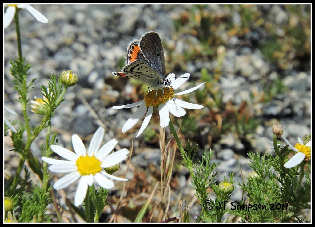 Silver Studded Blue Butterfly... by soylentgreenpics