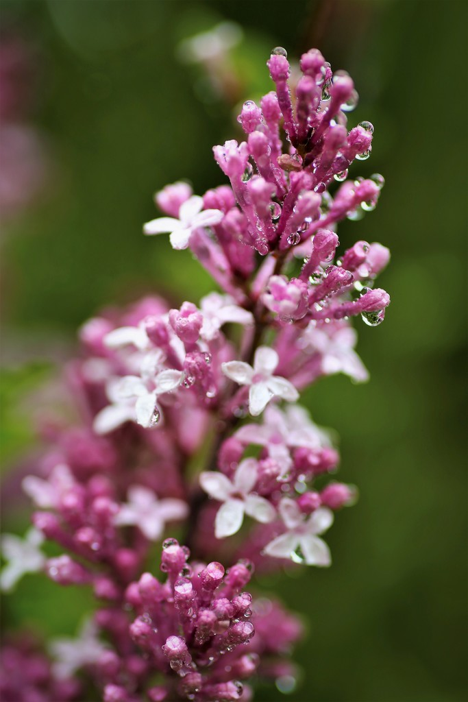 Lilac by phil_sandford