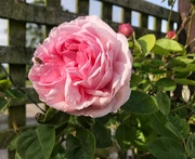 19th May 2019 - The first rose of summer