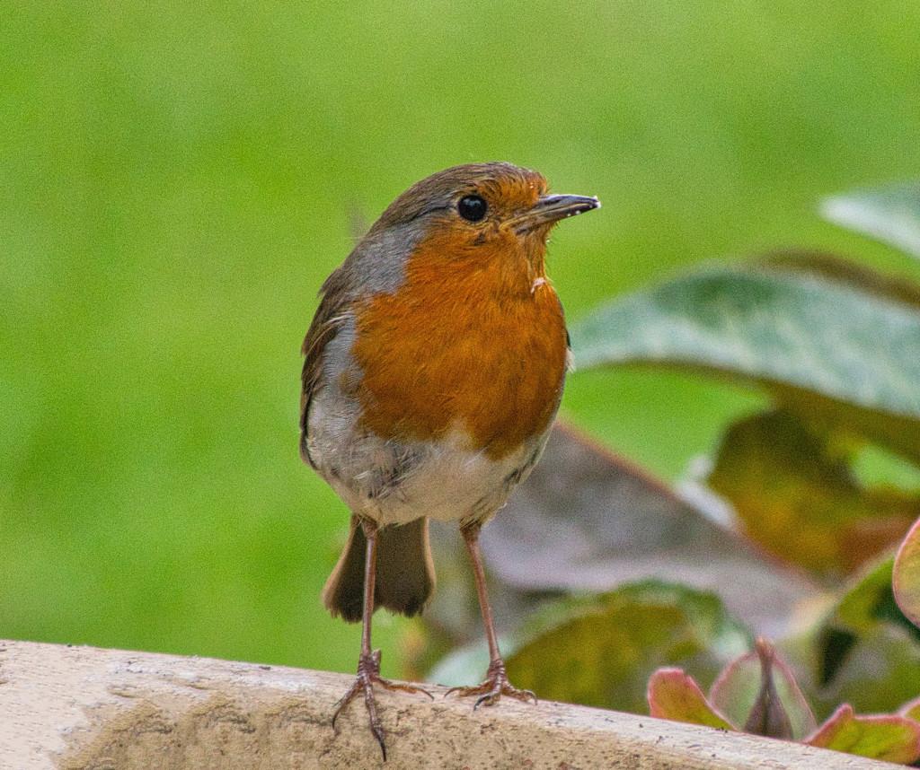 Robin. by tonygig
