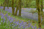 19th May 2019 - Bluebells