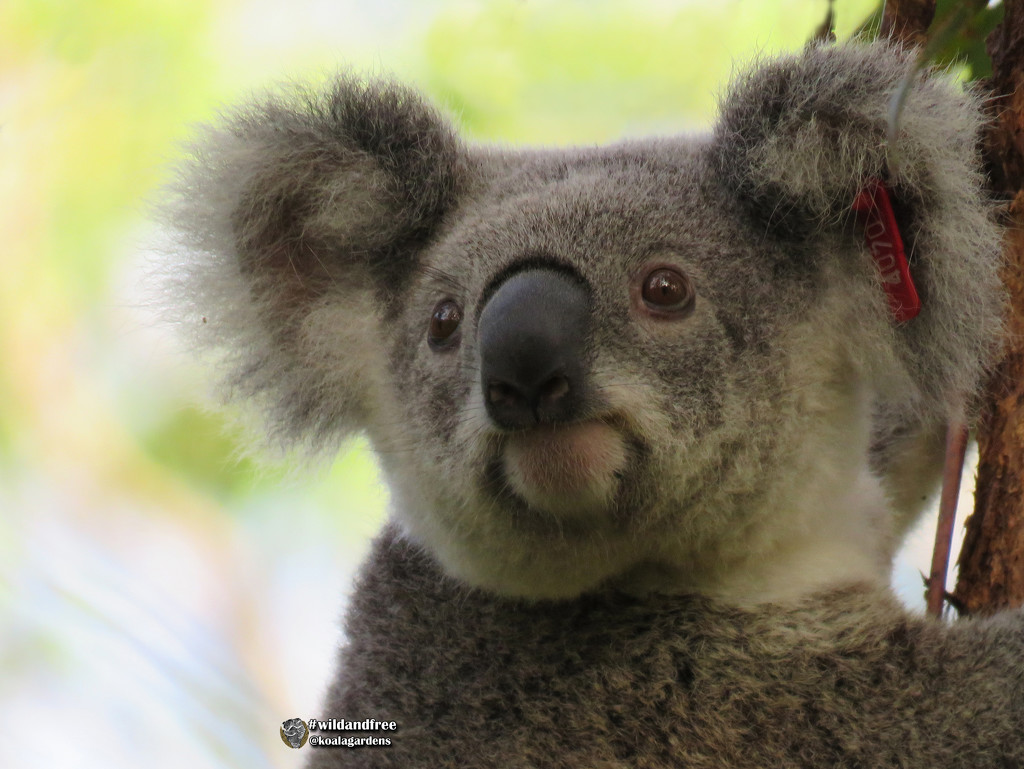 what do koalas think about? by koalagardens