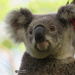 what do koalas think about?