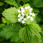 19th May 2019 - Jack-in-the-Hedge or garlic mustard