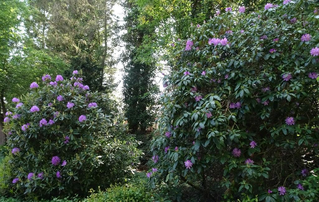 rhododendrons by gijsje