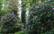 20th May 2019 - rhododendrons