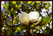 19th May 2019 - Magnolia Blossom