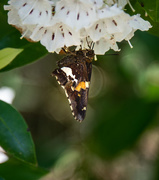 19th May 2019 - Moth on Mountain Laurel