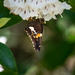Moth on Mountain Laurel