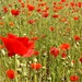Poppy Services by phil_sandford