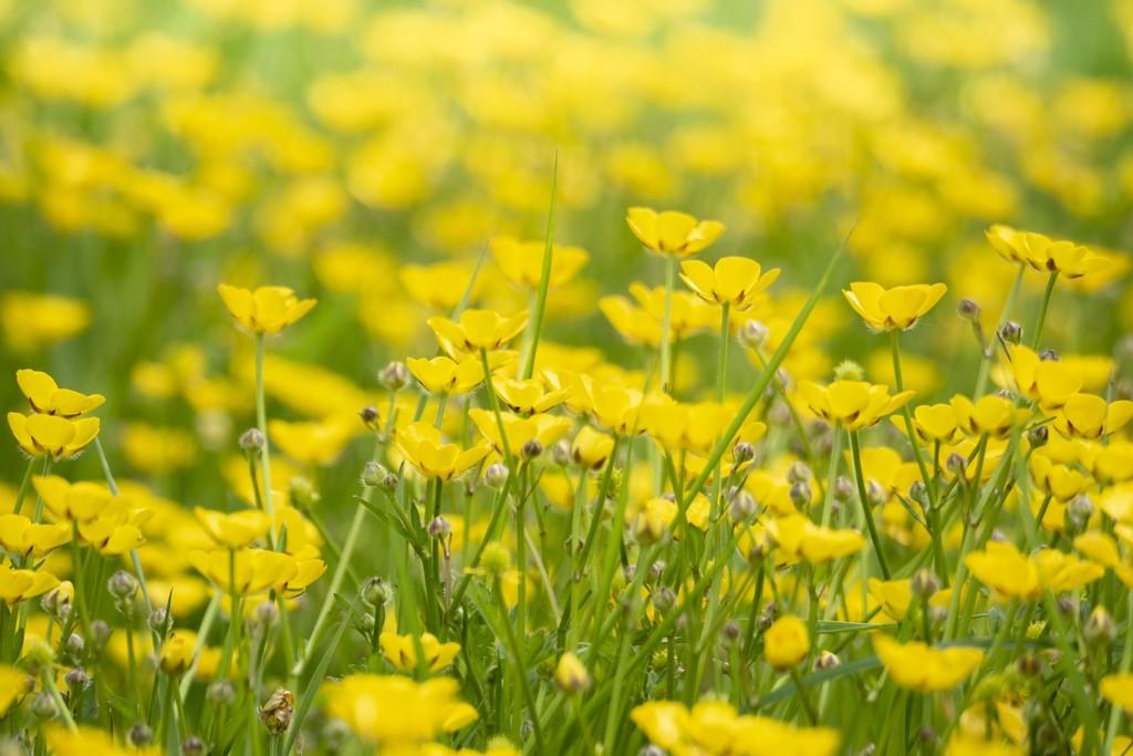 Buttercup fields by bizziebeeme