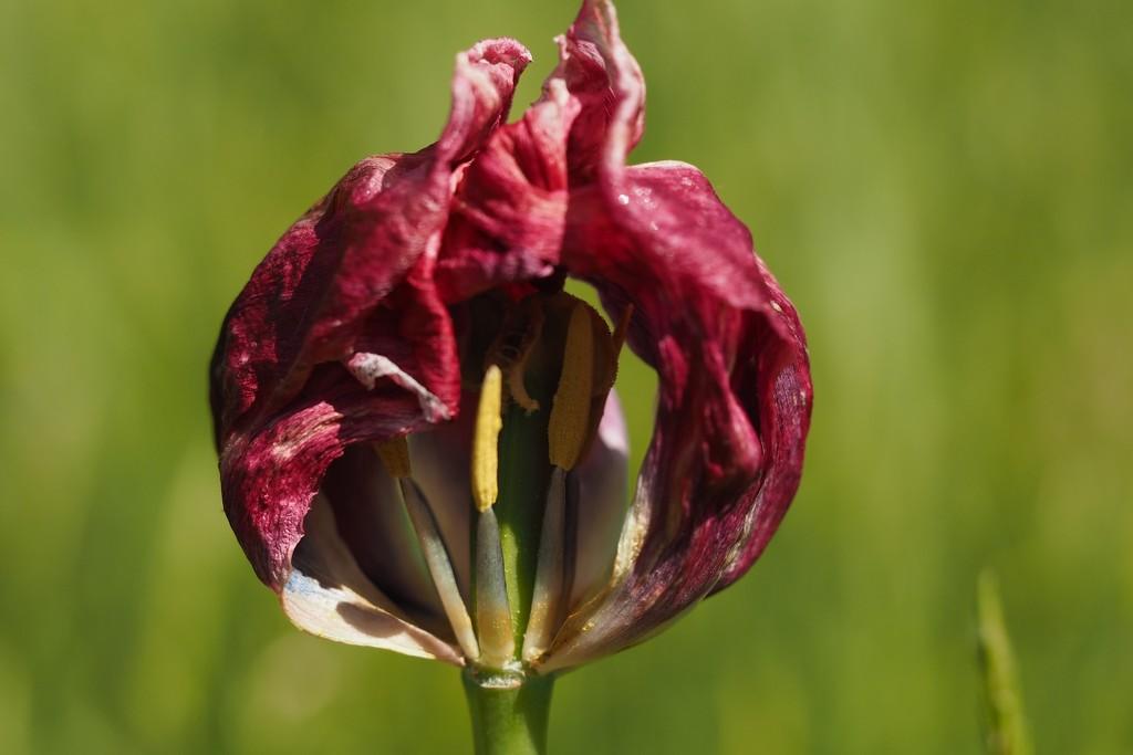Looking inside a tulip by bizziebeeme