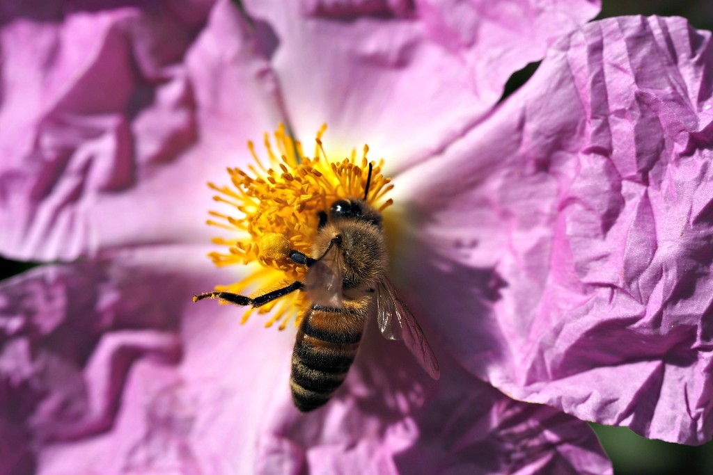 Busy bee buzzing around collecting pollen by bizziebeeme