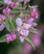 19th May 2019 - crab apple