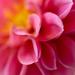 dahlia petals by jernst1779