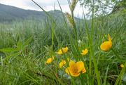 20th May 2019 - Marsh marigolds