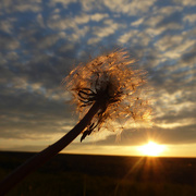 20th May 2019 - Dandelion changing from sun to moon