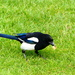 A Magpie Eating