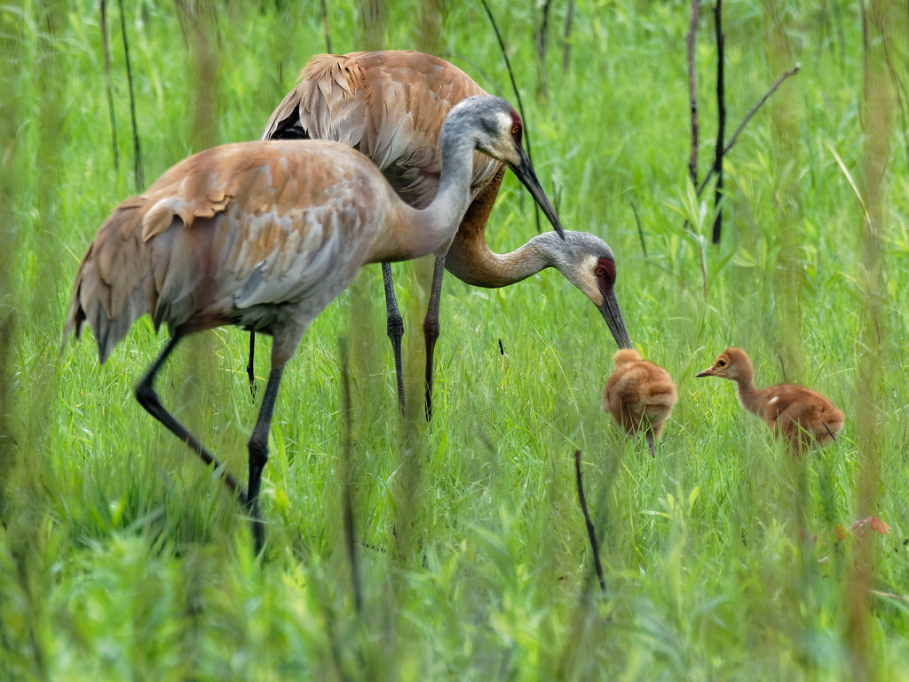 Sandhill cranes and two colts by rminer