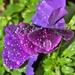 Rainy Day Pansies