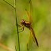 Dragonfly on the Bahia Grass!